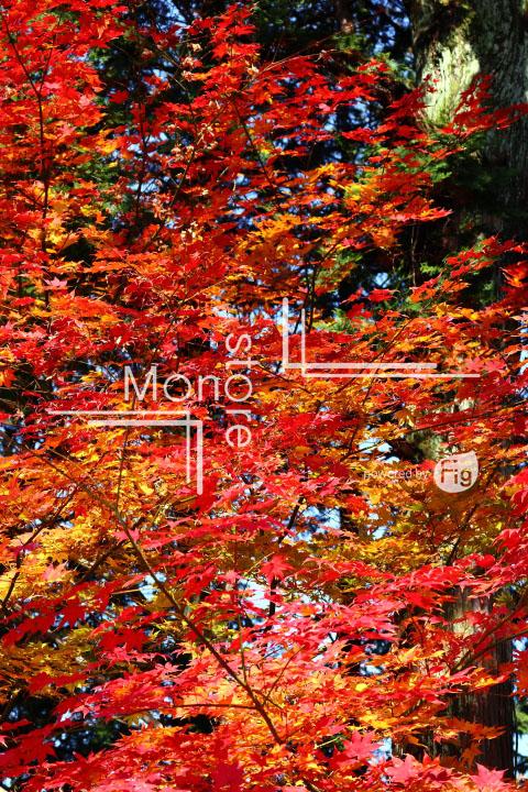 紅葉の写真 Autumn leaves Photography 3614