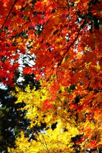 紅葉の写真 Autumn leaves Photography 3615