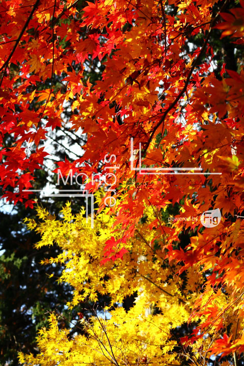 紅葉の写真 Autumn leaves Photography 3615