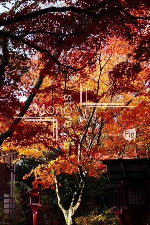紅葉の写真 Autumn leaves Photography 3621