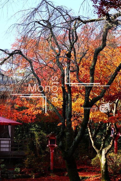 紅葉の写真 Autumn leaves Photography 3623