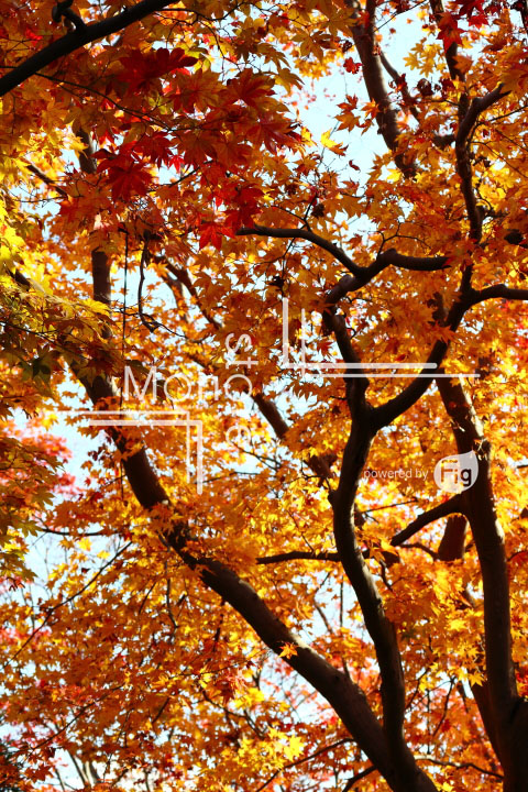 紅葉の写真 Autumn leaves Photography 3628