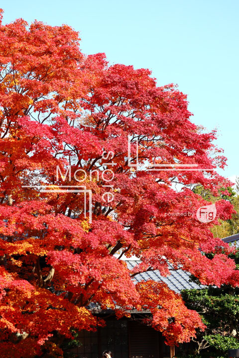 紅葉の写真 Autumn leaves Photography 3630