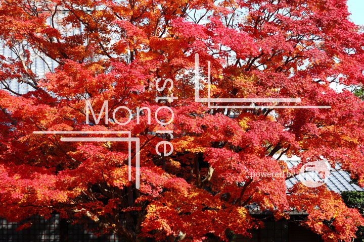 紅葉の写真 Autumn leaves Photography 3631