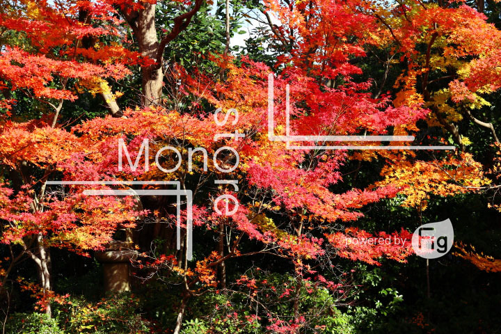 紅葉の写真 Autumn leaves Photography 3635
