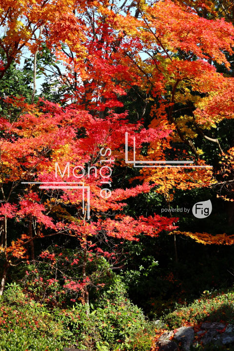 紅葉の写真 Autumn leaves Photography 3636
