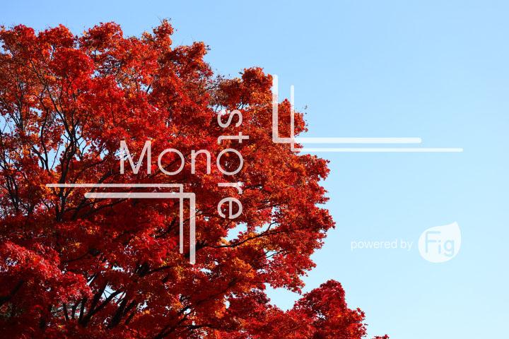 紅葉の写真 Autumn leaves Photography 3647
