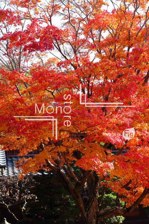 紅葉の写真 Autumn leaves Photography 3648