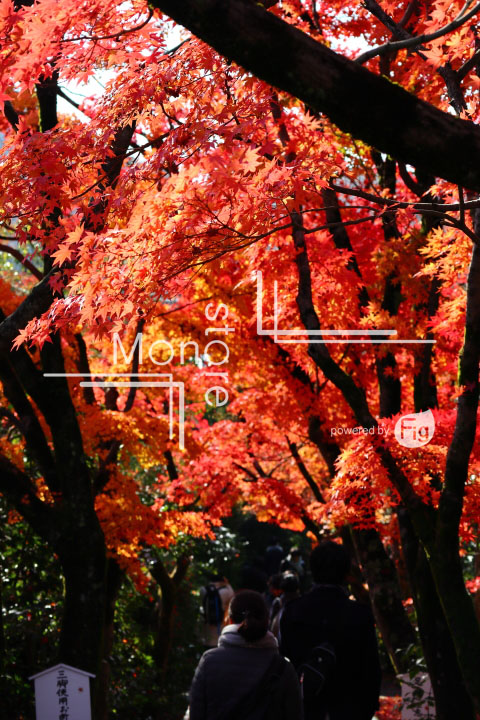紅葉の写真 Autumn leaves Photography 3654