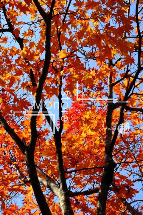 紅葉の写真 Autumn leaves Photography 3656