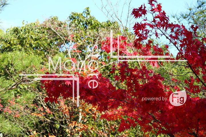 紅葉の写真 Autumn leaves Photography 3659