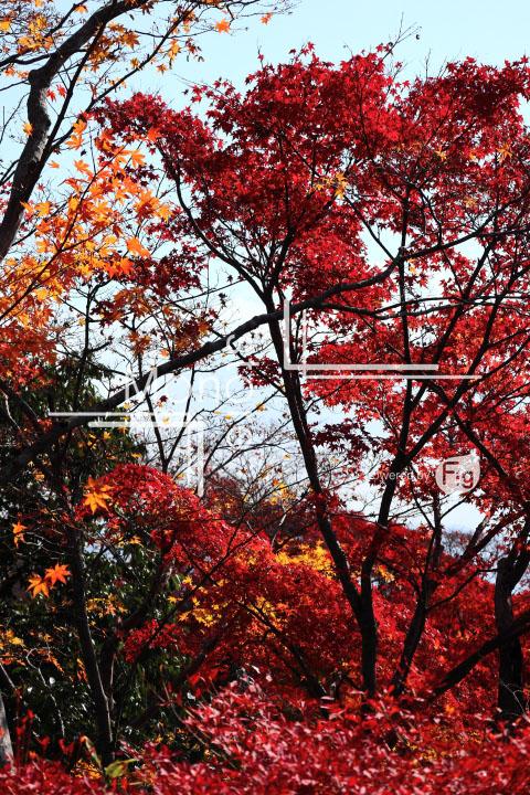 紅葉の写真 Autumn leaves Photography 3662