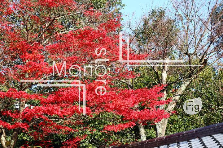 紅葉の写真 Autumn leaves Photography 3664