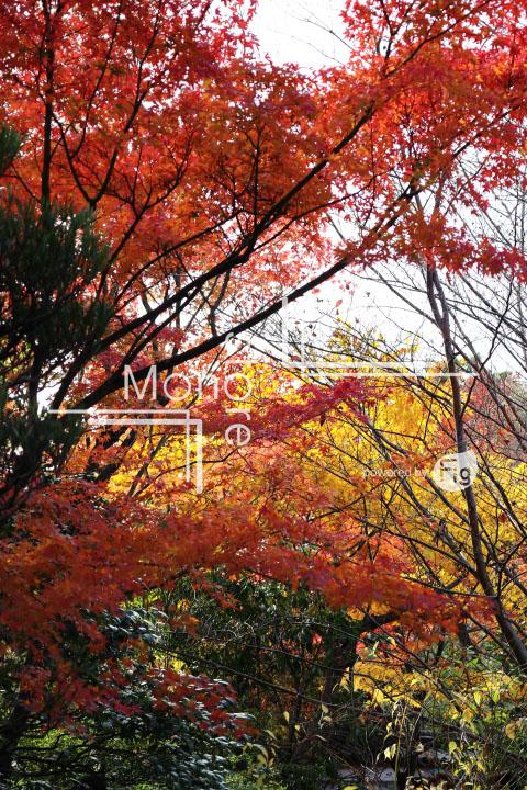 紅葉の写真 Autumn leaves Photography 3666
