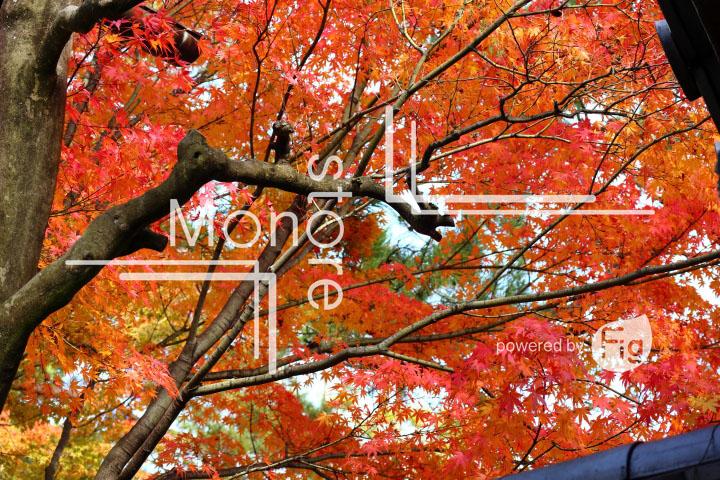 紅葉の写真 Autumn leaves Photography 3668