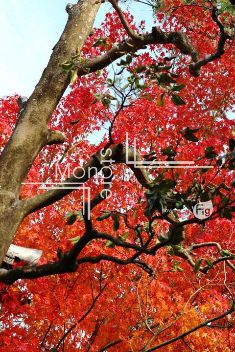 紅葉の写真 Autumn leaves Photography 3670
