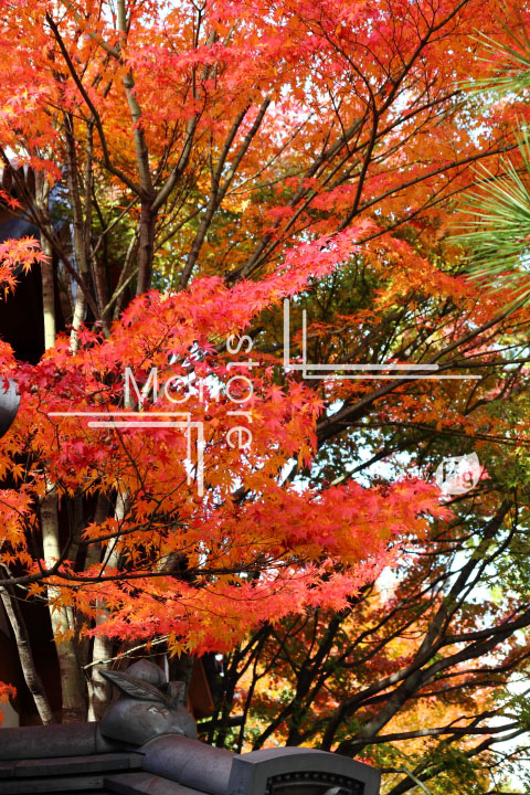 紅葉の写真 Autumn leaves Photography 3671