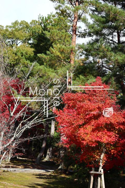紅葉の写真 Autumn leaves Photography 3682