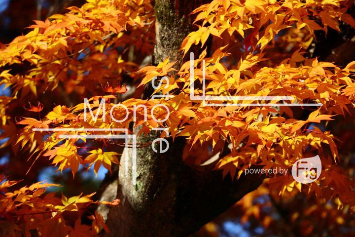 紅葉の写真 Autumn leaves Photography 3687