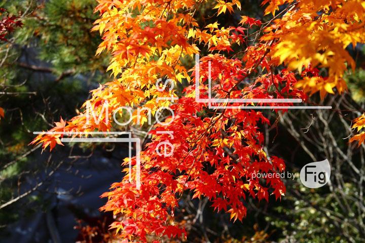 紅葉の写真 Autumn leaves Photography 3688