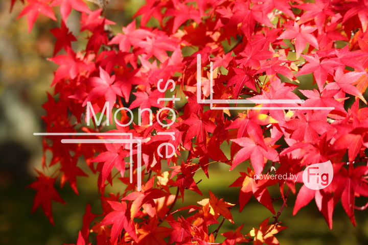 紅葉の写真 Autumn leaves Photography 3689