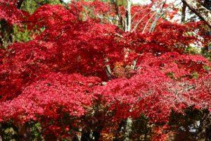 紅葉の写真 Autumn leaves Photography 3690