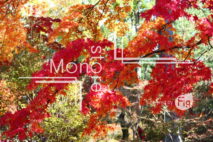 紅葉の写真 Autumn leaves Photography 3697