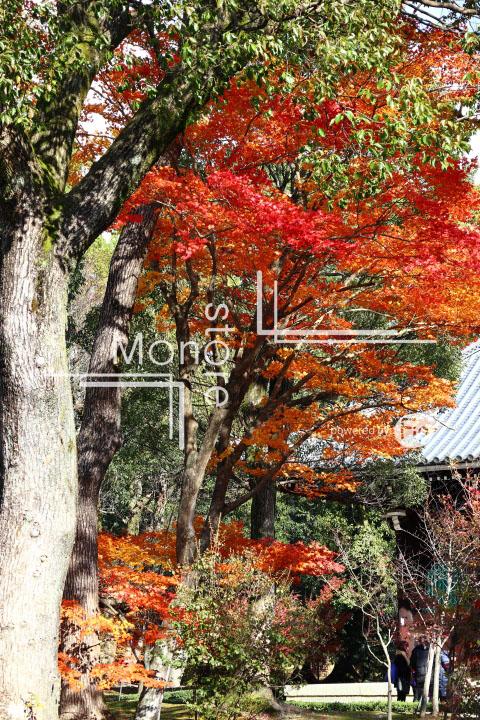 紅葉の写真 Autumn leaves Photography 3698