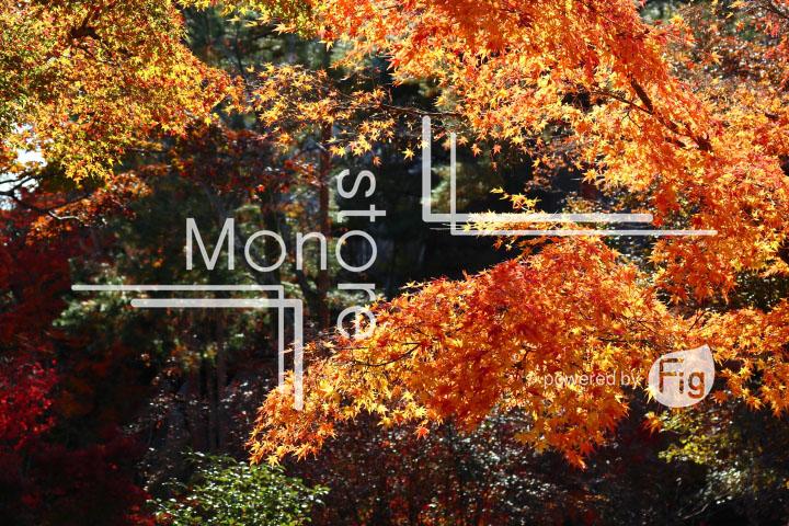 紅葉の写真 Autumn leaves Photography 3701