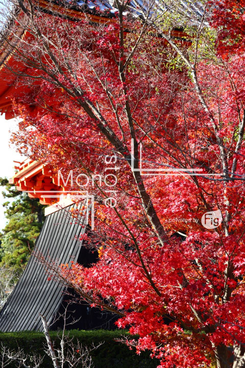 紅葉の写真 Autumn leaves Photography 3703