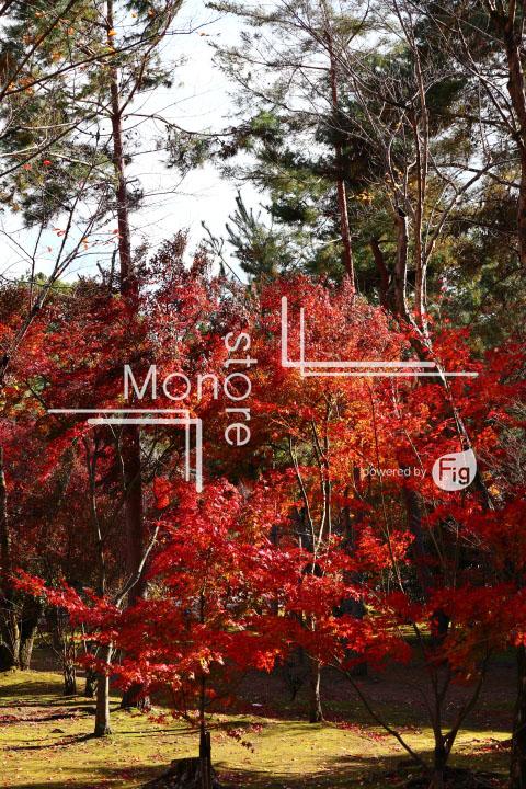 紅葉の写真 Autumn leaves Photography 3708