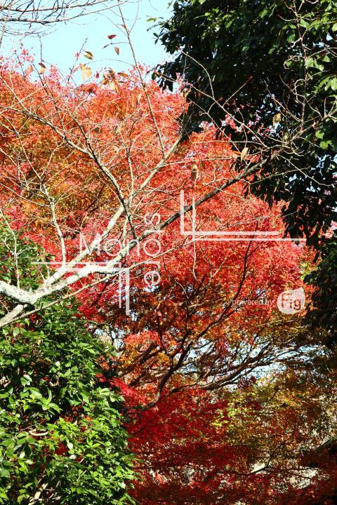 紅葉の写真 Autumn leaves Photography 3712