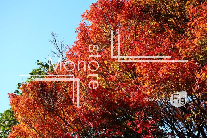 紅葉の写真 Autumn leaves Photography 3713
