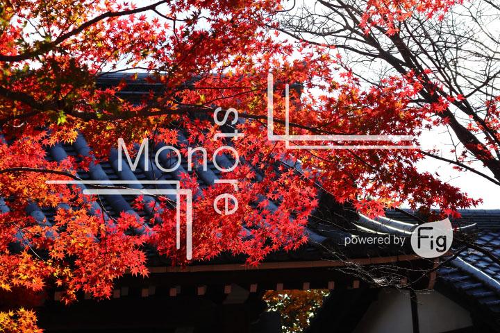 紅葉の写真 Autumn leaves Photography 3717