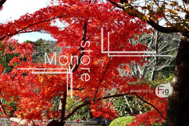 紅葉の写真 Autumn leaves Photography 3723