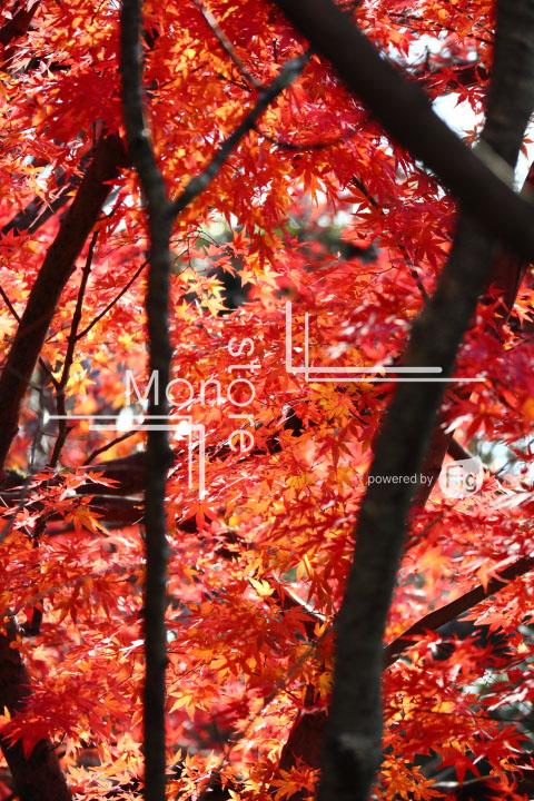 紅葉の写真 Autumn leaves Photography 3724