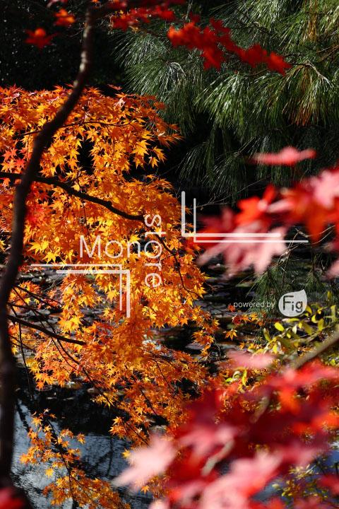 紅葉の写真 Autumn leaves Photography 3726