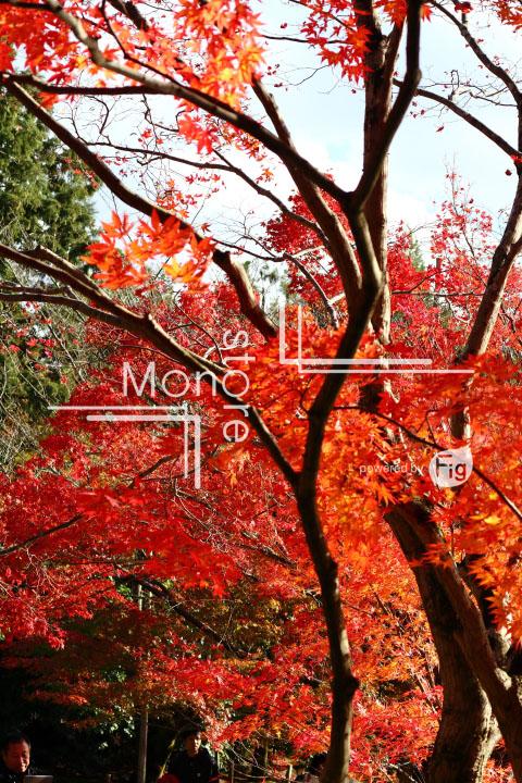 紅葉の写真 Autumn leaves Photography 3727