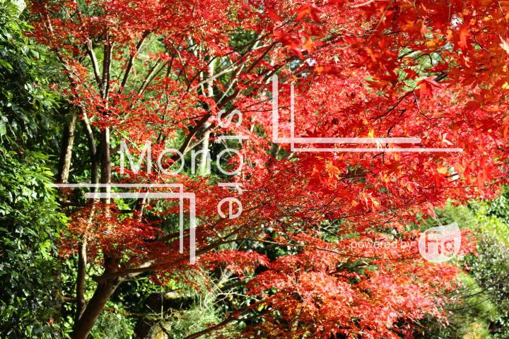 紅葉の写真 Autumn leaves Photography 3728