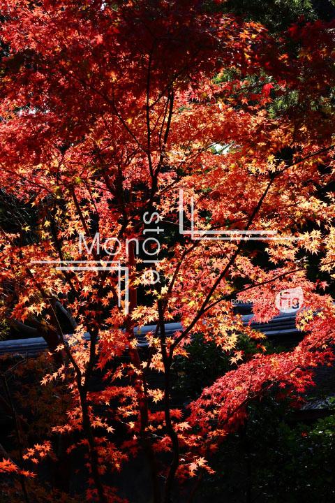 紅葉の写真 Autumn leaves Photography 3736