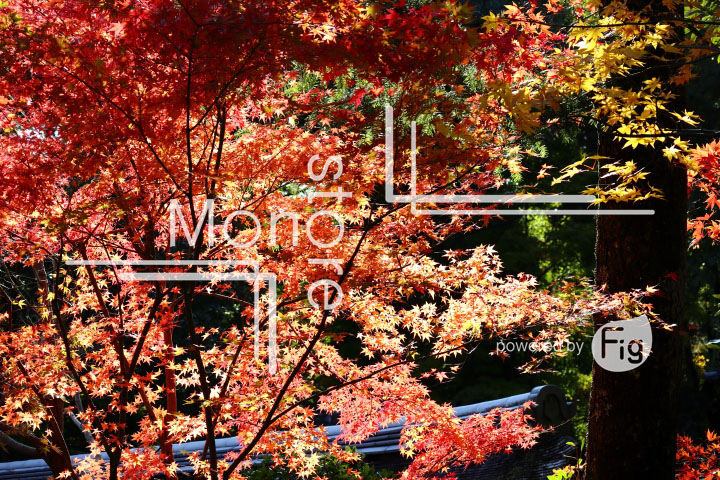 紅葉の写真 Autumn leaves Photography 3737