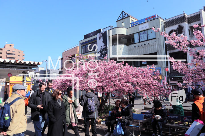 桜の写真 Cherry blossoms Photography 4515