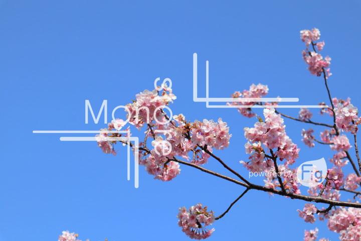 桜の写真 Cherry blossoms Photography 4518