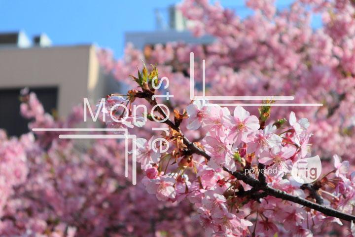 桜の写真 Cherry blossoms Photography 4521
