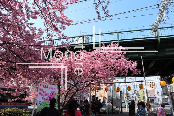 桜の写真 Cherry blossoms Photography 4526