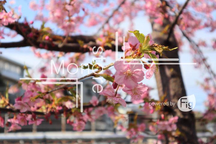 桜の写真 Cherry blossoms Photography 4529