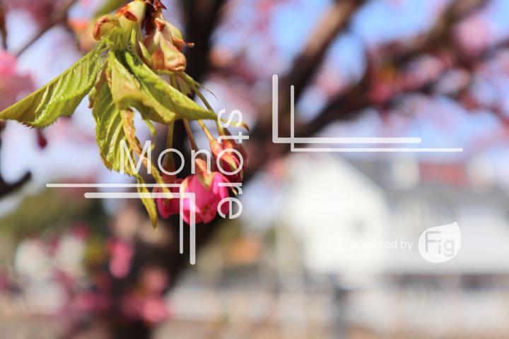桜の写真 Cherry blossoms Photography 4530