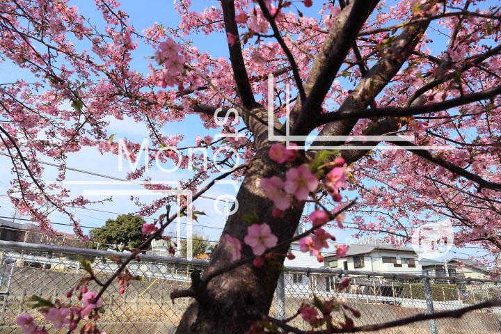 桜の写真 Cherry blossoms Photography 4531