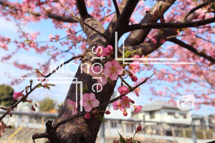 桜の写真 Cherry blossoms Photography 4533