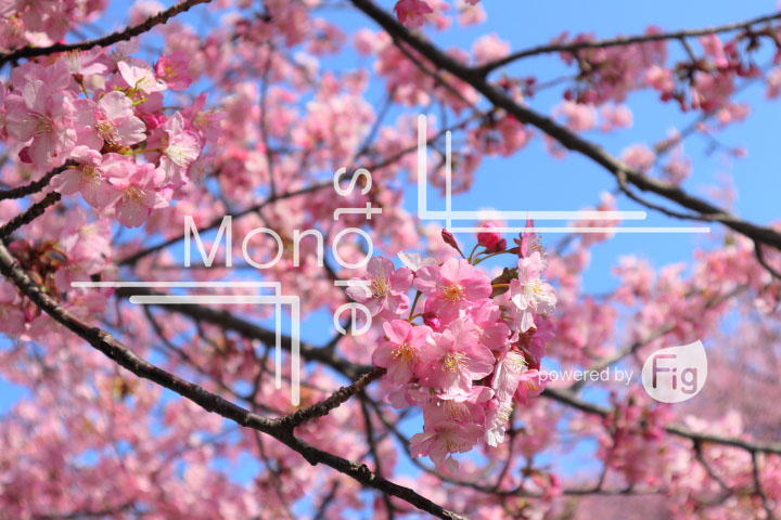 桜の写真 Cherry blossoms Photography 4535